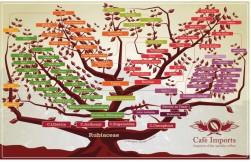 albero varietà caffè bella