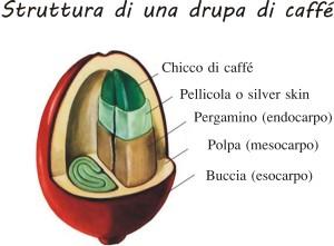 struttura drupa caffè