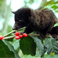 "KOPI LUWAK,  SICURI DI CREDERE ANCORA ALLA SELEZIONE NATURALE FATTA DAI FURETTI???  FORSE LA PENSERETE DIVERSAMENTE DOPO QUESTO VIDEO… Guarda ""Is There Cruelty in Your Coffee?"" su YouTube"